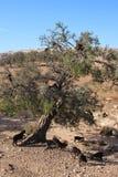 Αίγες argan στο δέντρο, Μαρόκο Στοκ εικόνες με δικαίωμα ελεύθερης χρήσης