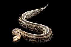 αίμα Μπόρνεο python που παρακο&lam Στοκ Εικόνες