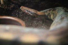 Αίμα python Στοκ εικόνα με δικαίωμα ελεύθερης χρήσης