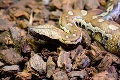 Αίμα Python (curtus Python) Στοκ Φωτογραφίες