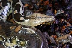Αίμα Python (curtus Python) Στοκ φωτογραφίες με δικαίωμα ελεύθερης χρήσης