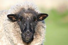 αίσθημα sheepish στοκ εικόνες