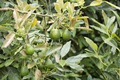 Αβοκάντο Hass στο δέντρο, καλλιέργεια στην Κολομβία στοκ φωτογραφία