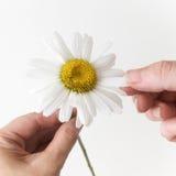 Αγάπες ή notloves εγώ, μαδώντας από τα πέταλα ενός chamomile Στοκ Εικόνες