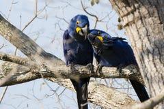 Αγάπη άνοιξη: Φιλαράκοι ζευγαριού Macaw υάκινθων Στοκ Φωτογραφίες
