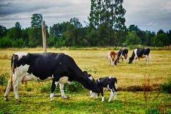 Αγάπη αγελάδων Στοκ Εικόνες