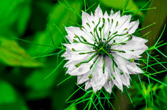 Αγάπη--α-υδρονέφωση (damascena Nigella) Στοκ Εικόνες