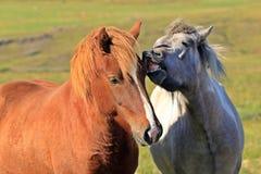 Αγάπη αλόγων, στο medow Στοκ φωτογραφία με δικαίωμα ελεύθερης χρήσης