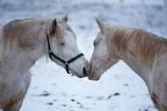 Αγάπη δύο άσπρη αλόγων μεταξύ τους Στοκ Φωτογραφίες
