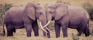 Αγάπη ελεφάντων Στοκ Εικόνες