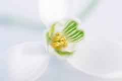 αγάπη καρδιών snowdrop Στοκ φωτογραφία με δικαίωμα ελεύθερης χρήσης