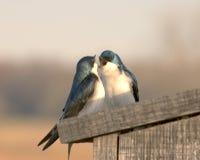 αγάπη πουλιών Στοκ φωτογραφίες με δικαίωμα ελεύθερης χρήσης