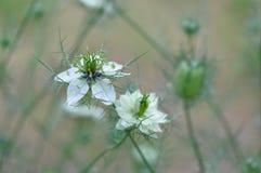 Αγάπη σε ένα λουλούδι damascena Nigella υδρονέφωσης Στοκ εικόνες με δικαίωμα ελεύθερης χρήσης