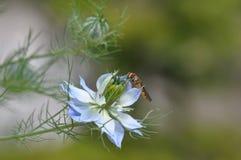 Αγάπη σε ένα μπλε λουλούδι damascena Nigella υδρονέφωσης Στοκ Φωτογραφίες