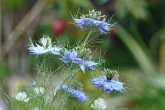 Αγάπη σε ένα μπλε λουλούδι damascena Nigella υδρονέφωσης Στοκ Εικόνες