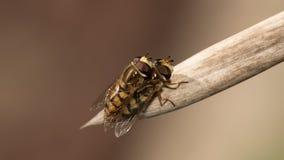 Αγάπη Hoverfly Marmelade Στοκ φωτογραφίες με δικαίωμα ελεύθερης χρήσης