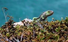 Αγάπη Iguana Στοκ Εικόνες