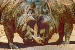Αγάπη Warthog Στοκ Εικόνες