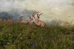 Αγέλη Capricorns Στοκ εικόνες με δικαίωμα ελεύθερης χρήσης