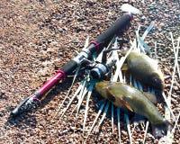 αγαθό σύλληψης Tench είναι ένα πολύ νόστιμο ψάρι Στοκ Εικόνα