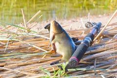 αγαθό σύλληψης Tench είναι πολύ νόστιμο ψάρι Στοκ Φωτογραφία