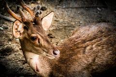 Αγαπητός, άγρια φύση, φύση, ζώο, άγρια περιοχές, ελάφια, όμορφος, εθνικά, pronghorn, παλαιός, χαριτωμένος, ζωηρόχρωμα, δάσος Στοκ φωτογραφίες με δικαίωμα ελεύθερης χρήσης