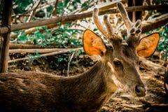 Αγαπητός, άγρια φύση, φύση, ζώο, άγρια περιοχές, ελάφια, όμορφος, εθνικά, pronghorn, παλαιός, χαριτωμένος, ζωηρόχρωμα, δάσος Στοκ φωτογραφία με δικαίωμα ελεύθερης χρήσης