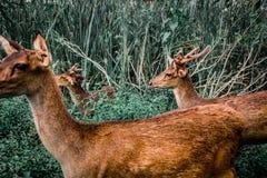 Αγαπητός, άγρια φύση, φύση, ζώο, άγρια περιοχές, ελάφια, όμορφος, εθνικά, pronghorn, παλαιός, χαριτωμένος, ζωηρόχρωμα, δάσος Στοκ Εικόνες