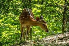 Αγαπητός και Fawn σε ένα δάσος Στοκ Εικόνα