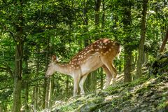 Αγαπητός και Fawn σε ένα δάσος Στοκ εικόνα με δικαίωμα ελεύθερης χρήσης