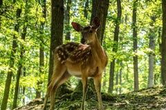 Αγαπητός και Fawn σε ένα δάσος Στοκ φωτογραφία με δικαίωμα ελεύθερης χρήσης