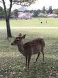 Αγαπητός στην Ιαπωνία στοκ εικόνα