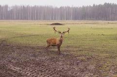 Αγαπητό αρσενικό ελάφι στη φύση Στοκ Φωτογραφία
