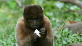 Αγαπώντας πίθηκος απόθεμα βίντεο