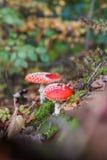 Αγαρικό μυγών ή Amanita μυγών μανιτάρι, Amanita muscaria Στοκ Φωτογραφίες