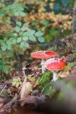 Αγαρικό μυγών ή Amanita μυγών μανιτάρι, Amanita muscaria Στοκ Εικόνες
