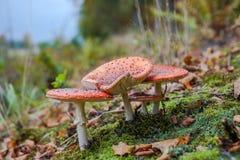 Αγαρικό μυγών ή Amanita μυγών μανιτάρι, Amanita muscaria Στοκ εικόνες με δικαίωμα ελεύθερης χρήσης