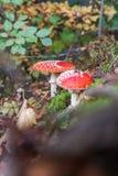 Αγαρικό μυγών ή Amanita μυγών μανιτάρι, Amanita muscaria Στοκ Εικόνα