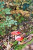 Αγαρικό μυγών ή Amanita μυγών μανιτάρι, Amanita muscaria Στοκ φωτογραφία με δικαίωμα ελεύθερης χρήσης