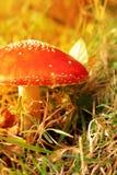 Αγαρικό μυγών ή Amanita μυγών, Amanita muscaria, μύκητες μανιταριών Στοκ Φωτογραφίες