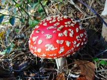 Αγαρικό μυγών, κόκκινο toadstool με τα άσπρα σημεία Στοκ εικόνα με δικαίωμα ελεύθερης χρήσης