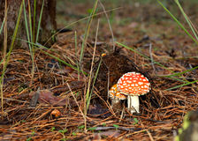 Αγαρικό μυγών στο δάσος οριζόντιο Στοκ εικόνα με δικαίωμα ελεύθερης χρήσης