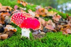 Αγαρικό μυγών στο βρύο με τα φύλλα πτώσης Στοκ Εικόνες