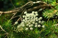 αγγελικό το ανθίζοντας πεδίο ημέρας το αγροτικό καλοκαίρι της Sally λουλουδιών Στοκ εικόνα με δικαίωμα ελεύθερης χρήσης
