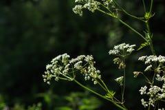 αγγελικό άγρια περιοχές λουλου&de Στοκ Εικόνα