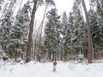 Αγγλικά τρεξίματα σπανιέλ αλτών σκυλιών κυνηγιού κατά μήκος του ίχνους στο μέσα χειμερινό δάσος στοκ εικόνες