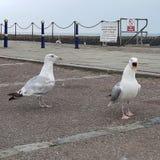 Αγγλικά seagulls ζευγών καναλιών στοκ εικόνες με δικαίωμα ελεύθερης χρήσης