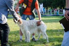Αγγλική παραμονή ρυθμιστών σε μια πράσινη χλόη backgrounds dog hunting labrador white yellow Στοκ φωτογραφία με δικαίωμα ελεύθερης χρήσης