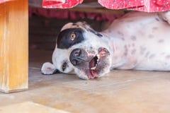 Αγγλικό άσπρο σκυλί δεικτών μαύρο εύθυμο να βρεθεί σημείων κάτω από το κρεβάτι Στοκ Εικόνες