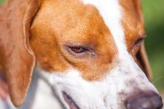 Αγγλικό πορτρέτο δεικτών σκυλιών κυνηγιού κλείστε επάνω Ζωικός κόσμος στοκ εικόνα